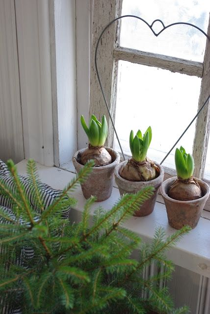 Hyacinth bulbs in pots great for a Christmas place setting - guests take away a little gift.