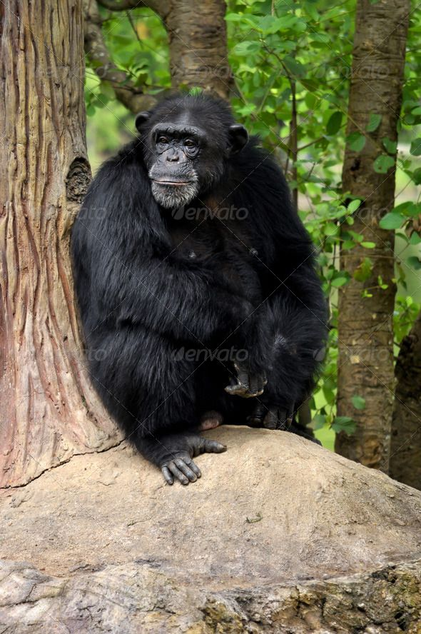 Chimpanzee by MaZiKab. Chimpanzees, sometimes colloquially chimp, are two extant hominid species of apes
