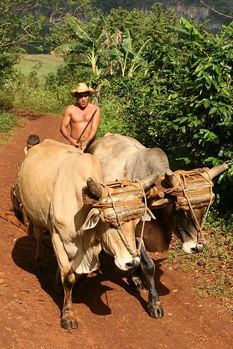 You find many oxen working in the fields while visiting the countryside.