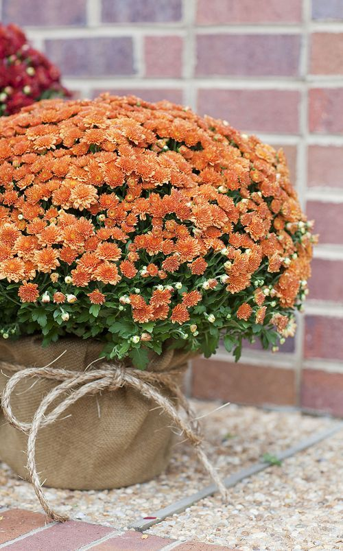 FOR AISLES: Mums with burlap and tie (but in yellow or something within the color scheme)