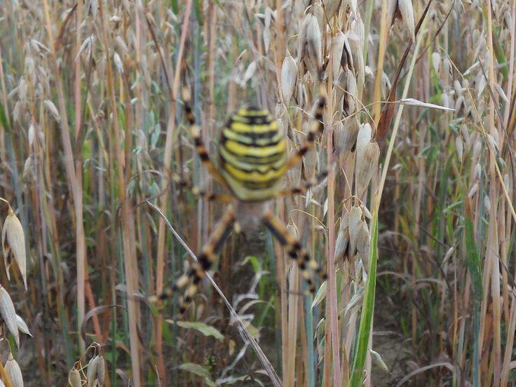 Une araignée épeire