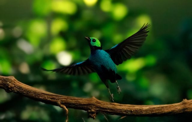 O tangará do paraíso é um pássaro cantor nativo multicolorido da bacia amazônica. Eles tendem a viver em grupos, e movem-se em bandos de até 20 elementos para obter alimentos.