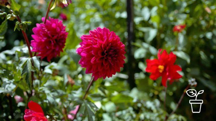 Dwight S Dahlias Fact Sheets Gardening Australia Gardening Australia Dahlia Growing Dahlias Dahlia Flower