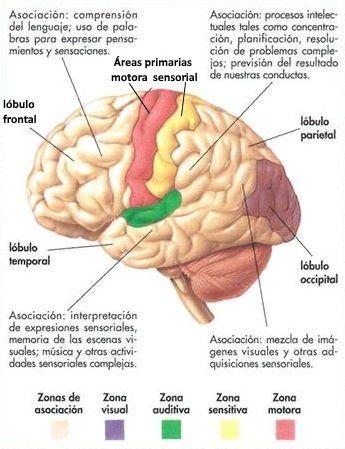 26 best fisiología: cerebro images on Pinterest | Neurociencia ...