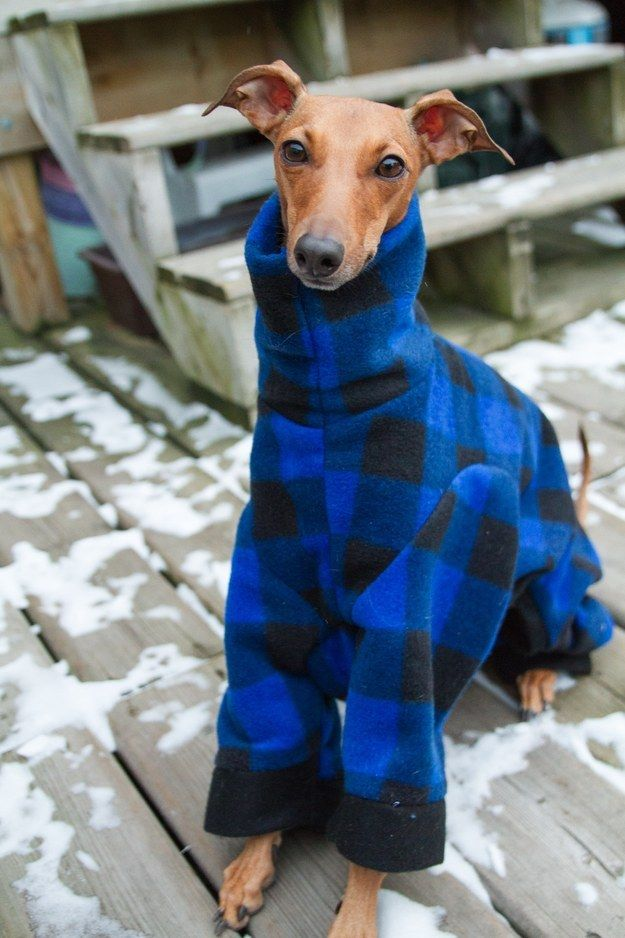 Because of Iggy Joey's unusual body shape, almost all of Iggy Joey's wardrobe is custom-made (lucky dog!). | This Canadian Dog Is Better Dressed Than Anyone In Canada, TBH