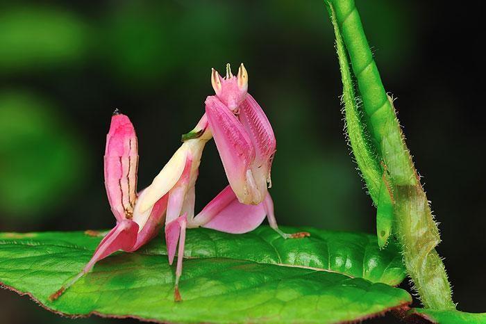 Mantis religiosa rosa. - Luce como una bonita flor.