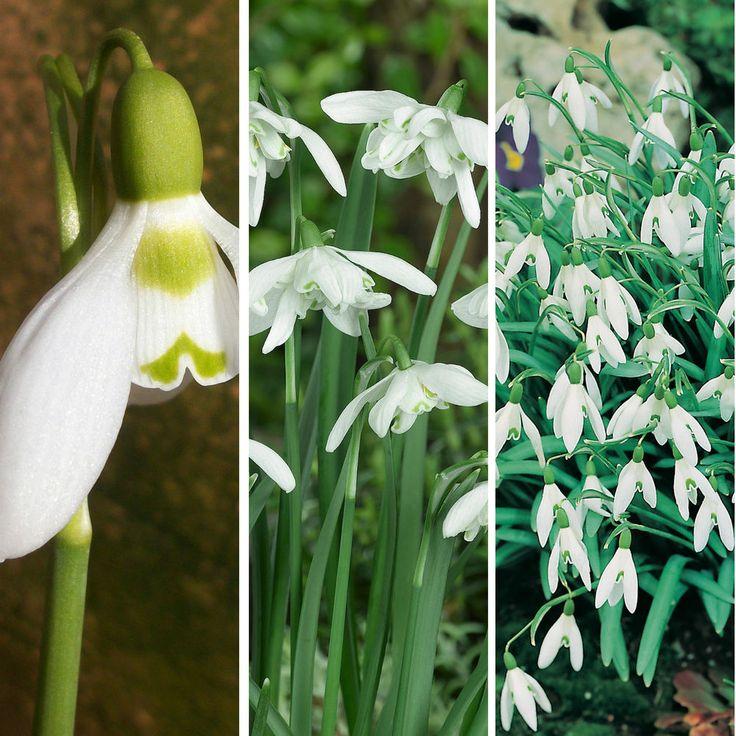 Snowdrop Bulbs Galanthus Perennial Early Spring Flowering Plants Bulbs