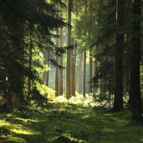 Licht und Schatten im Fichtenwald #Fichte #Tanne #Wald