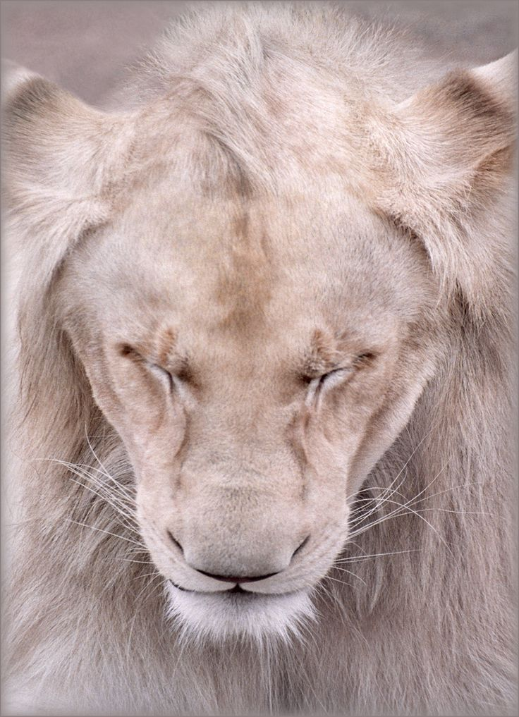 .: Big Cat, White Lions,  King Of Beasts, The Queen, Beautiful,  Panthera Leo, Baby Animal, Lion Of Judah, Bigcat