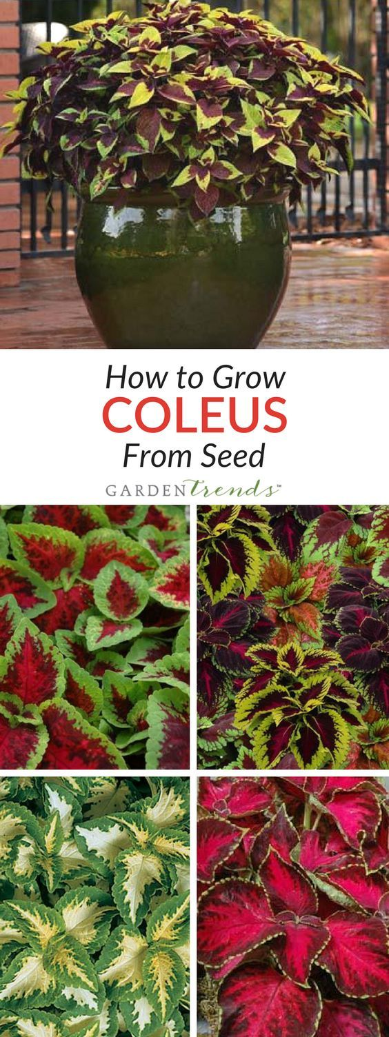 Coleus can be one of your first stops for those who are on the search for shade loving annuals. Grown primarily for its foliage, coleus can add a nice accent to other flowering annuals and perennials, or can often be used in large landscape plantings entirely on its own for a grand effect. #gardentrends #flowergarden #coleus #foliage #flowers