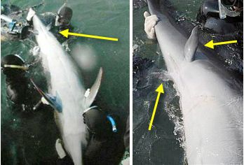 Cerca de una ballena de cada 500 nacen con patas traseras, además de aletas. Un atavismo evolutivo de la época en la que caminaban.