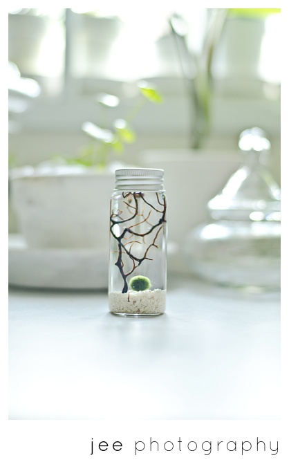 So I recently discovered Marimo, tiny aquatic moss balls that you can grow in aquatic terrariums. I am now obsessed with getting one for my desk :)