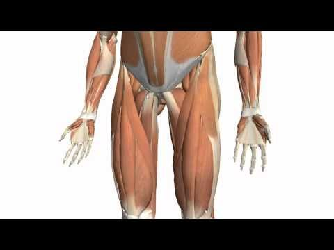 Muscles of the Thigh Part 2 - Medial Compartment - Anatomy Tutorial Quadriceps -sartorius