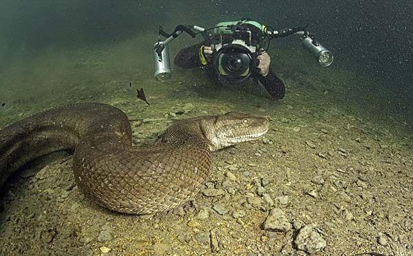 Un aficionado a la fotografía acuática captura una anaconda de 8 metros