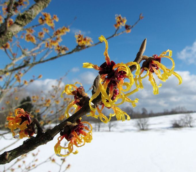 Witch Hazel Oil uses.  Can witch Hazel be used as a toner?  Yes! and it has many other uses as well