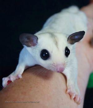 Silver Bell Platinum Sugar Glider for sale