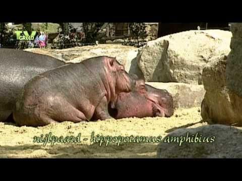 Wild Peers: Hippopotamus - Waterhorse - Hippopotamus amphibius - YouTube
