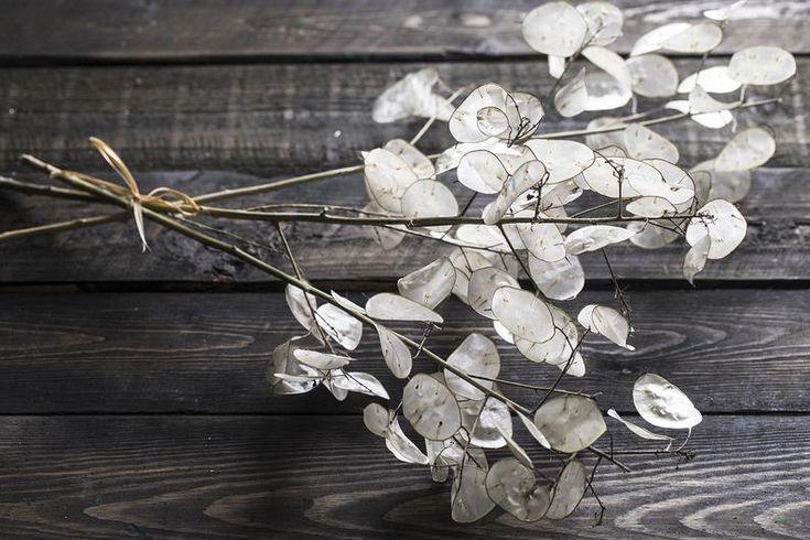 Lunaria Biennis bouquet Branches 18″ Money Plant dried money plant silver dollar plant lunaria annua honesty plant pearl lunaria stems – 7LeafShop on Etsy