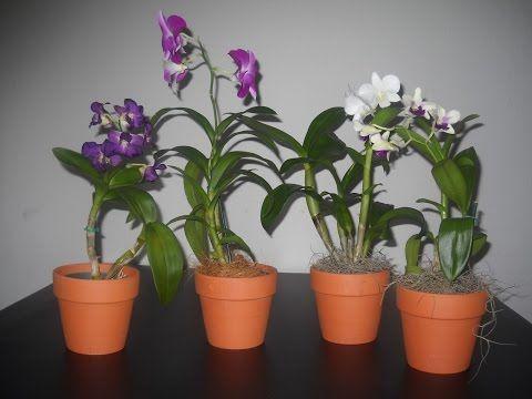 Cómo cuidar las orquídeas phalaenopsis, consejos de riego, abonado y conseguir otra floración.