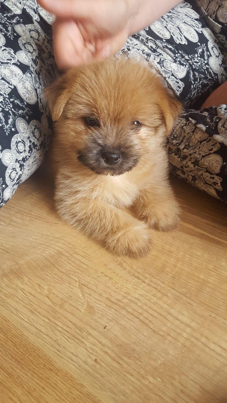 Astonishing Best 20 Pomeranian Mix Ideas On Pinterest Husky