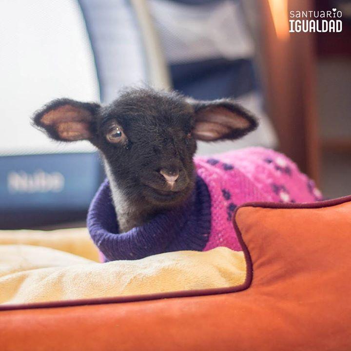 Bienvenida Belén   Cuando la oveja Rosita llegó al santuario estaba tan asustada desnutrida y enferma que iniciamos inmediatamente un plan de contingencia para ayudarla a recuperarse. Por eso jamás pensamos que parte de sus escasos 40 kilos de peso (las ovejas suelen pesar sobre 60 kilos) corresponderían a un pequeño ser que crecía en su interior.   Hasta que un día Belén simplemente apareció al lado de su madre. Fue en la hora de almuerzo del voluntariado del día domingo y todos nos…