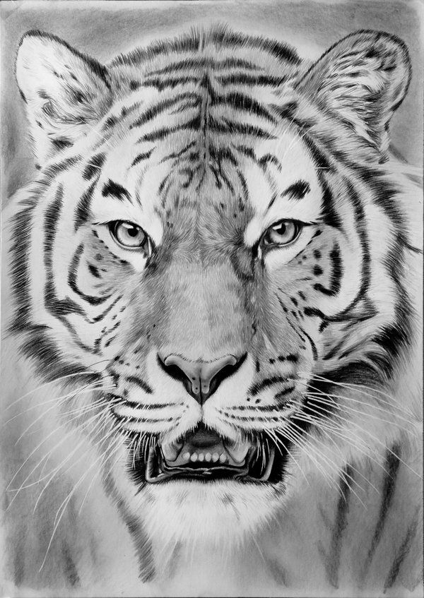 Tiger drawing by feel the steel