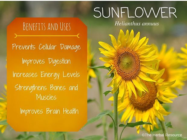 Sunflower Benefits And Uses Planting Sunflowers Uses Of Sunflower Herbalism