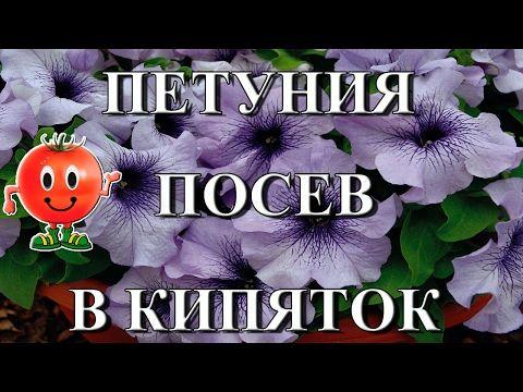Посев семян петунии в кипяток | как сажать петунию на рассаду - YouTube
