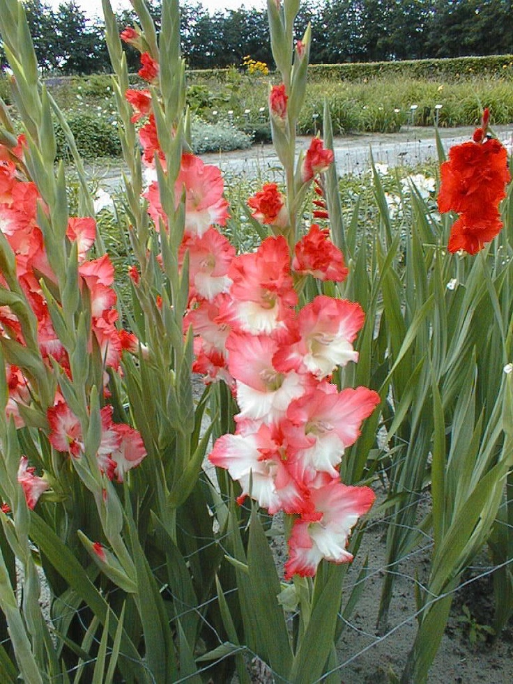 The 149 best flower gladiolus images on pinterest beautiful name pink lady bot flowerbulbs lilium flower bulbs bulbos mightylinksfo