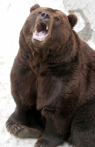 Kamchatka Brown Bear | Animals Native to Russia | PawNation
