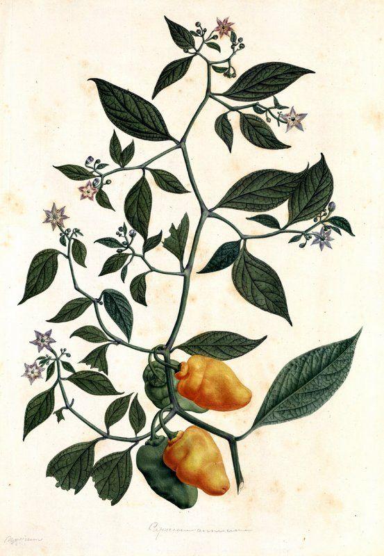 Capsicum annuum. Proyecto de digitalización de los dibujos de la Real Expedición Botánica del Nuevo Reino de Granada (1783-1816), dirigida por José Celestino Mutis: www.rjb.csic.es/icones/mutis. Real Jardín Botánico-CSIC.