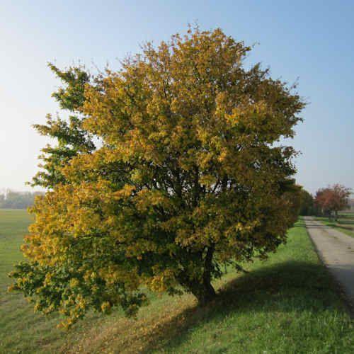 Acer Campestre - Erable champetre - Arbre baliveau 175/200 cm en racine nue.
