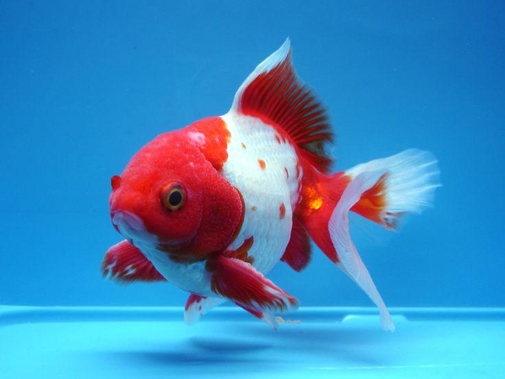 Les 109 meilleures images du tableau tosakin sur pinterest for Acheter poisson rouge 77