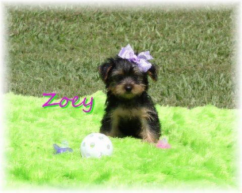 Teacup Puppies - Teacup Yorkie and Morkie Puppies For Sale