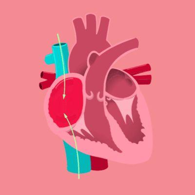 Representación gráfica  del proceso de circulación en el corazón humano. #gif