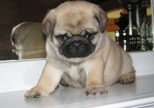 miniature pug puppies for sale   house train pug puppies for sale related ads maltese puppies ...
