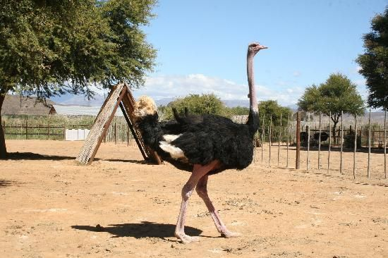 one of our beautiful proud #ostrich #males.
