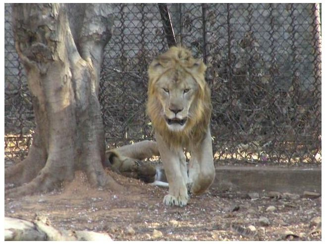 Lion at Mysore Zoo