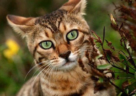 Bengal Cats have the loveliest bright green eyes, almost iridescent, Kelly green.