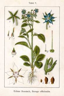 Borage - Side Effects, Uses and Benefits