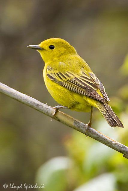 70 best oiseaux du qubec birds aves aves uccelli vgel setophaga petechia paruline jaune american yellow warbler publicscrutiny Gallery