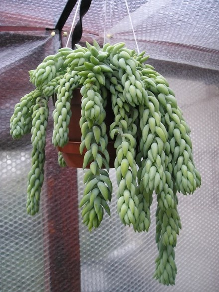 how to look after donkey tail succulent