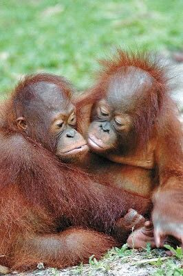 Young orangutan friends                                                                                                                                                                                 More