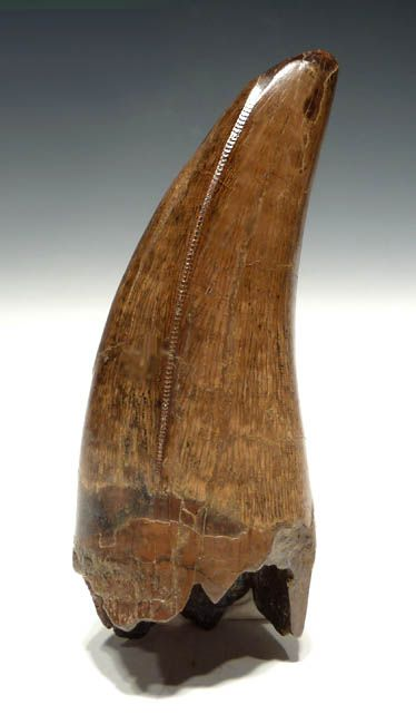 Fossilized Dinosaur Tooth. carcharodontosaurus--with serrations
