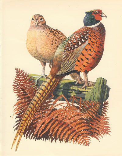 CHUBBY CUTIES. Beautiful picture of a Hen and Cock Pheasant, taken from a…