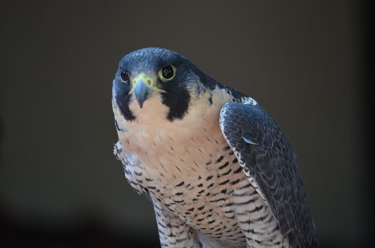 Falcon High Resolution Wallpapers: 92 Best Images About FALCON BIRD On Pinterest