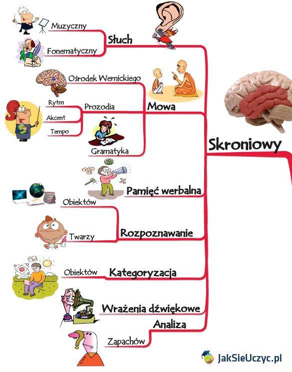 Poznaj najważniejsze funkcje jakie pełni mózg i ludzka kora mózgowa. Wiedzę tę można wykorzystać aby efektywniej uczyć się, oraz nabywać nowe umiejętności