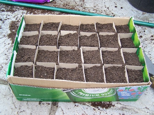Good idea to use cut down inserts from wine cases as dividers in seed trays. Could also use full size case box for large tree seeds