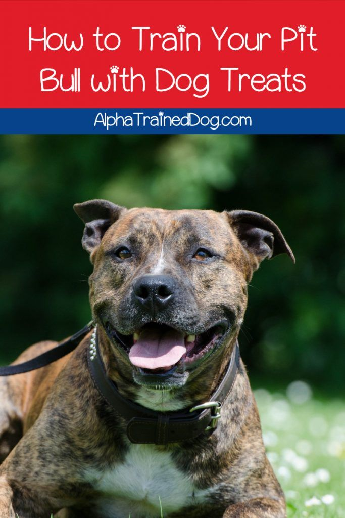 The Importance Of Keeping Your Dog Mentally Stimulated Pitbull Terrier Dog Training Pitbull Lover