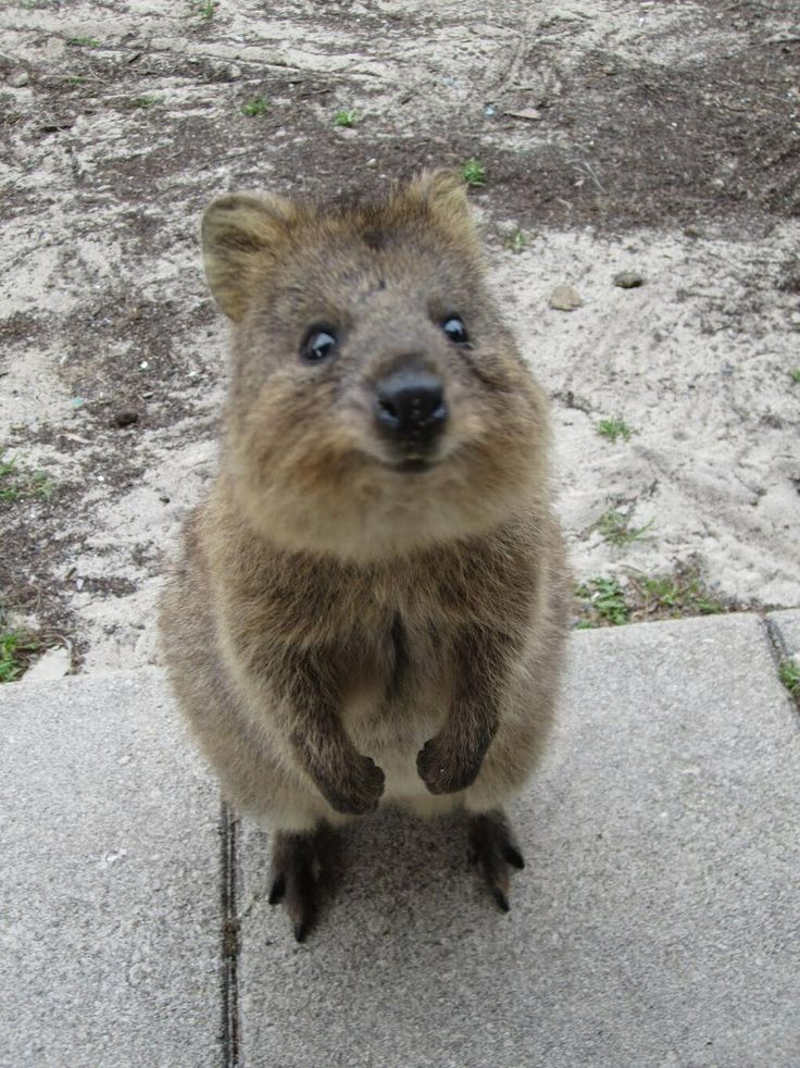 Best Quokka Images On Pinterest Aboriginal Language Adorable - 15 photos that prove quokkas are the happiest animals in the world